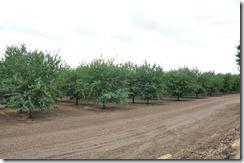 nut trees
